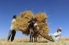 Afghan farmers load a donkey as they harvest wheat on the outskirts of Herat on June 23, 2014. (Aref Karimi/AFP/Getty Images)