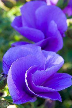 - purple pansies