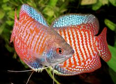 Gourami Information: Types, Care and Breeding | All Aquarium Info - Where to buy Garra Rufa , Doctor Fish and Other Aquatic Articles