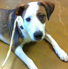 Frankie IV - Paws in Prison is an adoptable Hound Dog in Little Rock, AR. Frankie is a friendly and playful guy. He was rescued from the Cabot animal shelter where he was returned because he was getti...