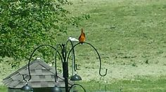 Oriole in our back yard!