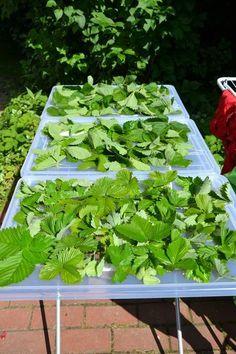 Raspberry leaf tea diy - All About Strawberry Leaves, Raspberry Leaf Tea, Strawberry Garden, Herbal Tinctures, Herbalism, Herbal Tea Benefits, Belleza Diy, Clean Eating Soup, Healthy Eating