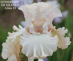 Iris OTHERSIDE OF HEAVEN by Joe Ghio (2013), very pale pink tall bearded iris with great form. Available at Stout Gardens at Dancingtree.