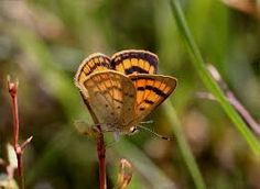 Image result for copper butterflies new zealand