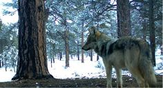 Mexican wolf pc Mexican Wolf Interagency Field Team