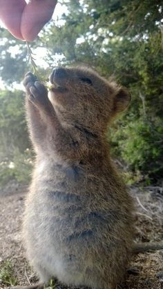 Everyone can learn lessons in gratitude from these cute animals: Quokkas. Look how happy she is by just being given a small sprig! 17 Reasons Why 2015 Will Be The Year Of The Quokka. Happy Animals, Animals And Pets, Funny Animals, Cute Animals, Wild Animals, Cute Creatures, Beautiful Creatures, Animals Beautiful, Quokka Baby