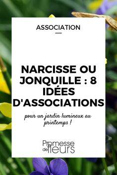 Les narcisses, ou jonquilles, sont des vivaces à bulbe et à floraison printanière blanche ou jaune. Découvrez nos conseils pour les associer au jardin !