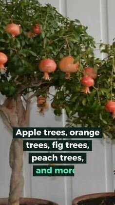 Dwarf Fruit Trees, Growing Fruit Trees, Fruit Plants, Fruit Garden, Garden Trees, Growing Tree, Growing Plants, Container Gardening, Gardening Tips