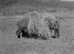 While driving through China, Aloha spotted this big water buffalo with a load of straw making the Chinese man appear so small. 1924