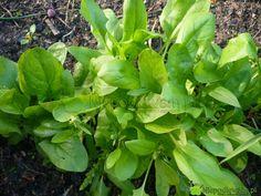 Około 10 maja (V) szpinak przestaje przyrastać w liściach. Zaczyna kwitnąć i z każdym dniem staje się mniej smaczny. Fot. Niepodlewam