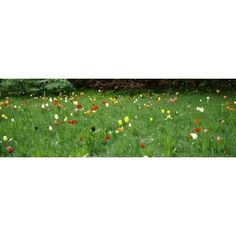 Tulips blooming in a field Howick Hall Gardens Northumberland England Canvas Art - Panoramic Images (12 x 36)