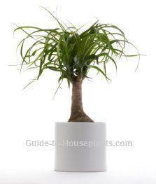 ponytail palm, beaucarnea recurvata