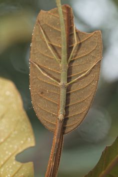 Stick insect on leaf  Found during a day hike in Ranomafana national park, Madagascar. Wooden Canes, Wooden Walking Sticks, Beautiful Bugs, Praying Mantis, School Pictures, Day Hike, Little Monsters, Beautiful Islands, Madagascar