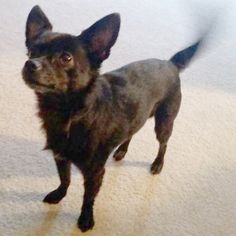 Found Dog - Chihuahua - Massillon, OH, United States 44646 on November 19, 2016 (13:00 PM)