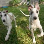 5 Fastest Dog Breeds