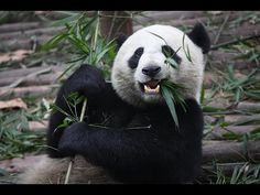 Cute Animals Compilation: Home, Exotic and Funny Cute Animals - http://dailyfunnypets.com/videos/dogs/cute-animals-compilation-home-exotic-and-funny-cute-animals/ - Cute Animals Compilation: Home, Exotic and Funny Cute Animals Another short compilation of cute, funny and stupid pets / animals. This time we have a dog, panda, monkey and a rough gorilla.... - animals, cute, dog, dogs, exotic, funny, gorilla, monkey, panda, pets, Poop., stupid, tickle