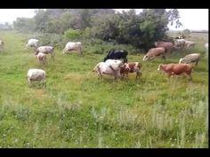 Выгульное содержание крупно рогатого скота! Стадо коров на выгуле!  +79656176005