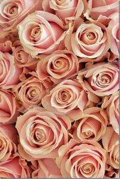 Google+  Pink Roses