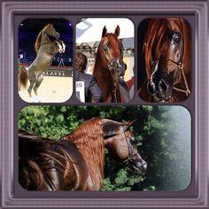 IM Bayard Cathare. 2004 Liver chestnut stallion Padrons Immage {Padrons Psyche x Scarlett Angaell by Ansata Omar Halim} x Shamilah Bagheera {Nadir I x Briannia by Menes}