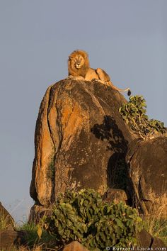 The real Lion King! A regal male lion photographed in Uganda's remote Kidepo Valley National Park