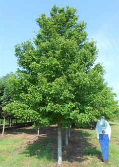 AROG - Acer rubrum 'October Glory' (October Glory® Red Maple)