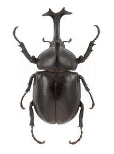 Allomyrina dichotoma  Japanese Rhinoceros Beetle