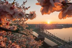 Spring in Budapest, Hungary with flowers, sun and Liberty bridge above Danube river. Liberty Bridge, Danube River, Hungary, Budapest, Celestial, Sunset, Spring, Flowers, Outdoor