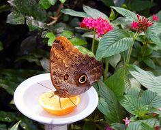 Orange slices attract butterflies.