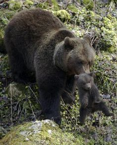 Momma bear and her cub