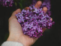 # Lilac Flowers Hand Hand Flowers, Purple Flowers, Purple Lilac, Dark Purple, Lavender Flowers, Best Essential Oils, Essential Oil Blends, Syringa Vulgaris, Flower Meanings