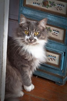 Beautiful markings on this kitty ♥ JFB says: I like the storage cabinet behind the kitty too! Cute Cats And Kittens, I Love Cats, Kittens Cutest, Charles Darwin, Beautiful Cats, Animals Beautiful, Hello Beautiful, Baby Animals, Cute Animals