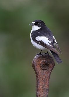 Male European Pied Flycatcher: one of four species of Western Palearctic black-and-white flycatchers. It breeds in most of Europe and western Asia. It is migratory, wintering mainly in western Africa