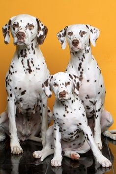 3 generations #Dalmatian #Dogs #Puppy