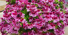 Muškáty jsou velmi populární květinou, která zdobí celou řadu balkonů. Pokud i ten váš, naučíme vás, jak o ně správně pečovat a jak zajistit nádherné květy Flora, Plants, Household, Management, Tablet Computer, Balconies, Planters, Plant, Planting