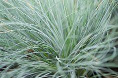 Festuca glauca (schapengras) is een blauwgrijs grasje voor de volle zon. Kan goed tegen droogte en is het mooist ...