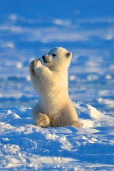 baby polar bear giving you a high five