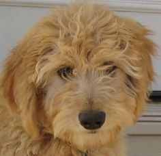 Goldendoodle Picture.