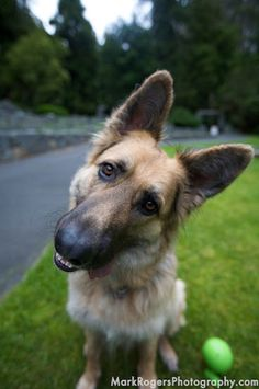 Known for being police dogs, they are amazing life companions too. We should honor them and show the world how German Shepherds act behind closed doors. See more at http://barkingtails.com