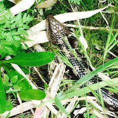 Eastern blue-tongue lizard resting in the foliage at Tower Hill. Love this place so much - there's always something wonderful to see!  #australia #australianwildlife #lizards #bluetongue #reptiles #towerhill #koroit #killarney #portfairy #warrnambool @australia by blarneybooks http://ift.tt/1UokfWI