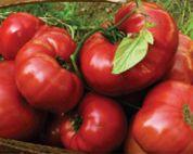 Brandywine tomato variety