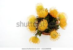 Find Pincushion Protea Flowers White Background Flat stock images in HD and millions of other royalty-free stock photos, illustrations and vectors in the Shutterstock collection. Thousands of new, high-quality pictures added every day.