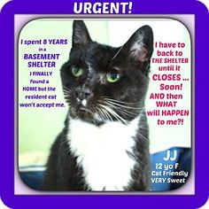 Pictures of JJ a Domestic Shorthair for adoption in Wantagh, NY who needs a loving home.