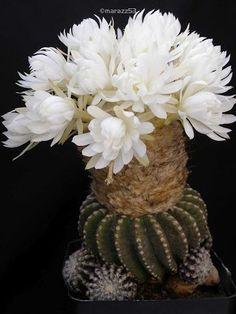 Discocactus horstii HU 360. Brazilian native. Ball/clumping shape. Cephalium on adult plants.