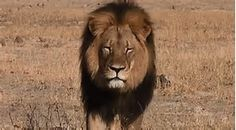 cecil the lion - Bing images