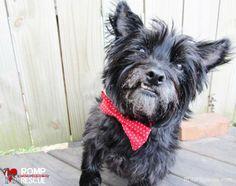 DIY Dog Valentine's Day, DIY dog bow tie, bow tie, collar, do it yourself, handmade, homemade, dog, pet, doggy, italian greyhound, collar doo