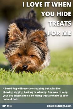 A bored dog will resort to troubling behavior like chewing, digging, barking or whining. One way too keep your dog entertained by hiding treats for him to seek out and find. #dog  www.koolcollar4dogs.com