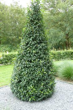 prunus lusitanica angustifolia afbeelding - Google zoeken