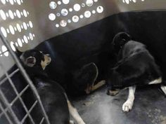 03/18/17- HOUSTON - EXTREMELY URGENT -ROMEO - ID#A479693 My name is ROMEO I am a male, black Chihuahua - Smooth Coated. The shelter staff think I am about 1 year old. I have been at the shelter since Mar 17, 2017. This information was refreshed 13 minutes ago and may not represent all of the animals at the Harris County Public Health and Environmental Services.