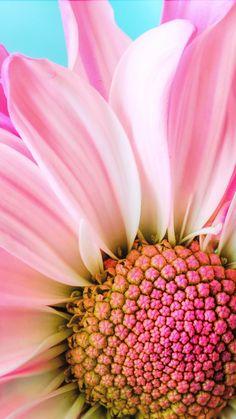 Flowers photography close up gerbera daisies 28 ideas Exotic Flowers, Pink Flowers, Beautiful Flowers, Gerbera Daisies, Black Flowers, Fresh Flowers, Sunflowers, Macro Flower, Flower Art