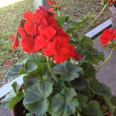 Flowers for Mama. Love Red Geraniums! Planted these as very small plant in Winter, already doing well. Actually it was a small root only I had left from last year.